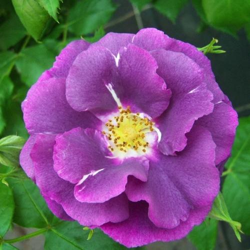 rosier rhapsody in blue p pini res dima les rosiers r sistants au calcaire. Black Bedroom Furniture Sets. Home Design Ideas