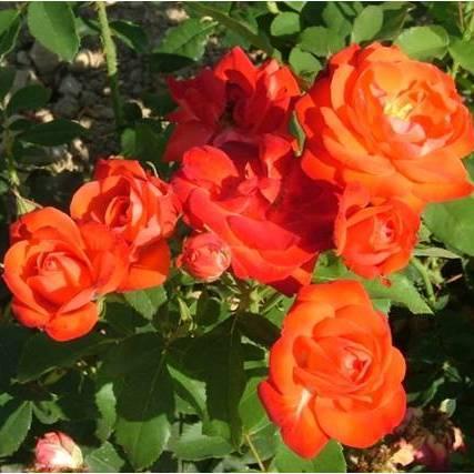 Rosier Orange Sensation