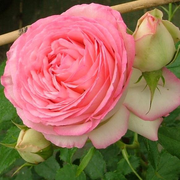 Rosier grimpant pierre de ronsard p pini res dima les rosiers r sistants au calcaire - A quel moment tailler les rosiers ...