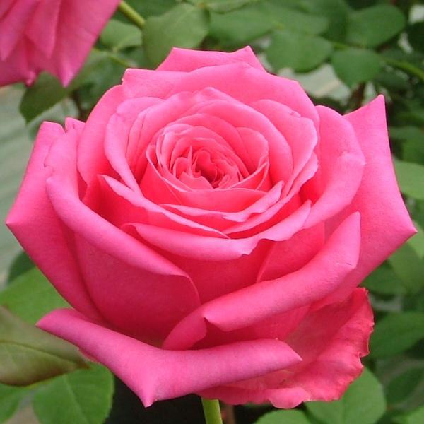 rosier senteur royale p pini res dima les rosiers r sistants au calcaire. Black Bedroom Furniture Sets. Home Design Ideas