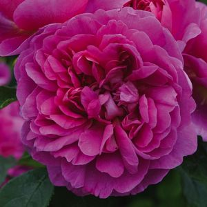 Rosier Princess Anne®