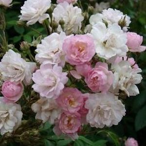 Rosier Guirlande rose®