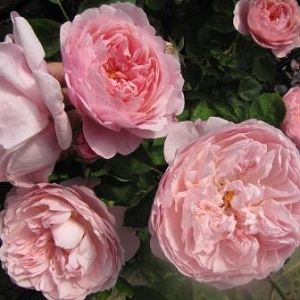 Rosier The Alnwick Rose®