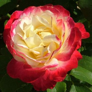 Rosier Double Delight Gpt®